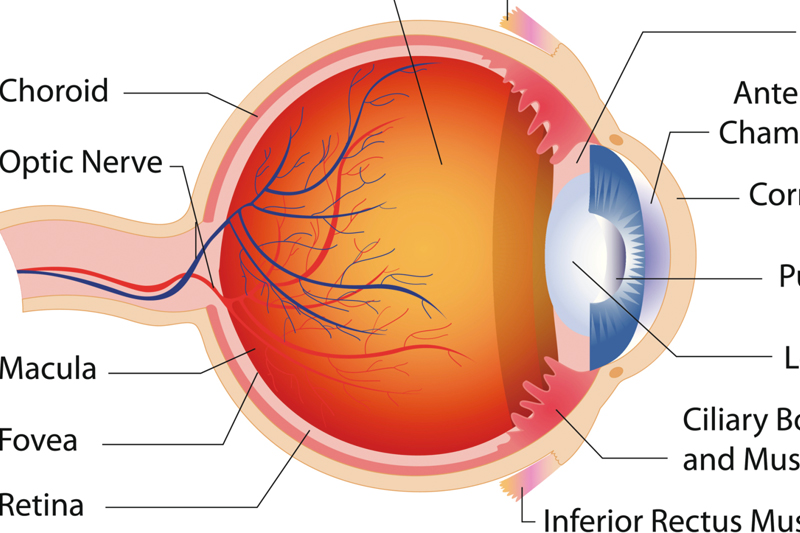 illustration of eye with labels on each part of the eye